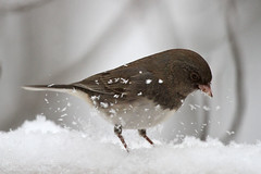 Dark-eyed Junco (Melissa Penta) Tags: snow birds backyard junco pa stroudsburg