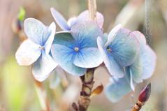 winter blue hydrangea (photoart33) Tags: blue garden soft pastel pale cobweb hydrangea shrub socc