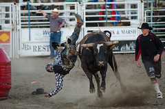 How Not to Dismount from a Bull (TSBTP) Tags: cowboy bull rodeo bullrider