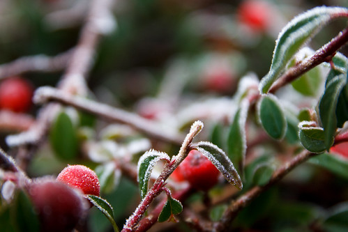 Frosty Berry