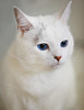 Snow White (Almost) (WisteriaLane) Tags: cats catportraits beautifulcats