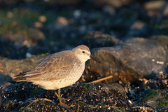 Red Knot at Point Lookout (surfbird917) Tags: red ny newyork bird sam adult knot stuart daytime sandpiper pointlookout