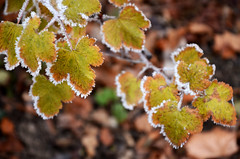 Winter is coming (a.Muller) Tags: camera trees winter plants white color tree green ice nature colors beautiful leaves garden photography frozen photo nikon frost branch dof photos bokeh picture depthoffield givre