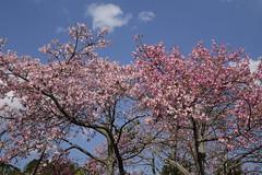 GREEN-WORLD (ddsnet) Tags: flowers plant sony hsinchu taiwan cybershot       peipu greenworld tree  flosssilktree rx10   flosssilk