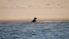The thinker. (northernkite) Tags: sea beach sand north estuary seal
