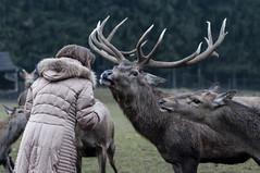 (the-father) Tags: germany bayern bavaria stag deer e oberpfalz upperpalatinate blinkagain bestofblinkwinners blinksuperstars görnitz