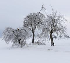 led na Notranjskem (happy.apple) Tags: winter landscape geotagged orchard slovenia glaze slovenija zima sleet crazyweather 2014 notranjska glazeice dolenjejezero led dovnjak ledolom