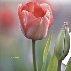 Tulipán (Jabi Artaraz) Tags: flowers red naturaleza planta nature rojo sony flor natura vida gorria zb loreak tulipán bizia euskoflickr landarea superaplus aplusphoto jartaraz alfa350