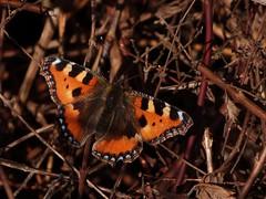 Small Tortoiseshell (ukstormchaser (A.k.a The Bug Whisperer)) Tags: uk animal animals butterfly spring wildlife small butterflies tortoiseshell february milton keynes bushes tortoiseshells