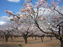 Mandelhain (Marlis1) Tags: spain floweringtree mandelblte mandelbaum almondflowers almondtrees prunusdulcis marlis1 tortosacataluaespaa