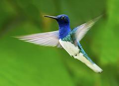 White-necked Jacobin Hummingbird (Florisuga mellivora) in flight, Asa Wright Nature Center, Trinidad. (pedro lastra) Tags: bird nature nikon hummingbird flight center trinidad wright asa trinidadtobago trochilidae florisugamellivora d7100