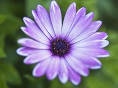 Flor (cachanico) Tags: flowers flores flower fleur fleurs flor olympus fiori fiore castellón comunidadvalenciana zd1454 alcossebre e420 anawesomeshot cachanico