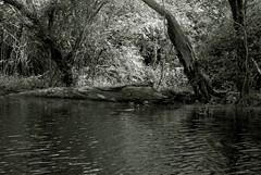 IRswampspics 7 (wmkaramjr) Tags: la moss louisiana gators bayou cajun cypresstrees acadiana henederson