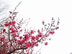 (Polotaro) Tags: flower nature pen olympus   zuiko ep1  3      fconp01 epm2