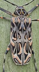 Bello diseño / Beautiful pattern (Acrocinus longimanus) (jjrestrepoa (busy)) Tags: insect colombia beetle escarabajo antioquia insecto coleoptera cerambycidae cordilleracentral acrocinuslongimanus polyphaga chrysomeloidea cucarron