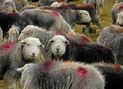 What Do We Think Of The New Flickr? (RoystonVasey) Tags: lake canon sheep district powershot cumbria hs herdwick ldnp sx260