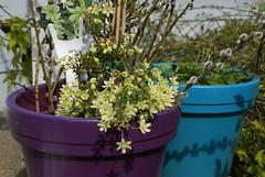 Clematis 'Pixie' (jacki-dee) Tags: clematis pixie springplants