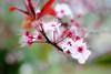 Flowering Plum 8 x 12 (kellynwarren) Tags: pinkflowers floweringplum