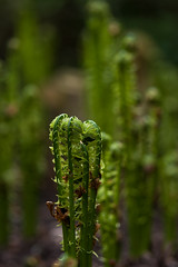 Gossip (Margot in Love) Tags: fern green nature natur grn farn chemnitz botanischergarten nabu