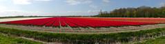 Tulips. Tulip fields. Egmond (elsa11) Tags: panorama flower spring tulips nederland thenetherlands lente bloemen noordholland egmond tulpen bulbfields tulipfields bollenvelden