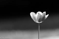 Black And White... tout simplement... (guysamsonphoto) Tags: bw flower fleur noiretblanc bokeh nikond600 guysamson nikkor70200f4