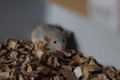 På besök hos Verras (liftarn) Tags: pet rat rats verras