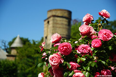 Roses guard the tower (Red Cathedral uses albums) Tags: france flower rose cosplay medieval nordpasdecalais nord larp flanders walledcity rampart vlaanderen redcathedral bergues eventcoverage aztektv sintwinoksbergen paysdulin