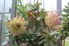 "Protea eximia - Botanischer Garten Berlin • <a style=""font-size:0.8em;"" href=""http://www.flickr.com/photos/25397586@N00/19741729816/"" target=""_blank"">View on Flickr</a>"