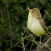 Melodious warbler (Hippolais polyglotta), Le Petit Loc'h, Guidel, Brittany, France