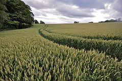 Dip in the field corner (petefreeman75) Tags: clouds corn woods walk wheat grain crop fields northyorkshire topf500