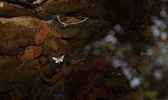 Farfalla (claudiachec) Tags: butterfly river fiume bianca acqua farfalla