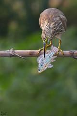 Big catch ! (nomane172) Tags: pondheron heron bird animal outdoor nature wildlife wildlifephotography naturephotography birdsofbangladesh dhaka bangladesh nikon nikond7100 d7100 tamron tamron70300mm 70300mm ngc bigcatch birdswithprey heronwithprey