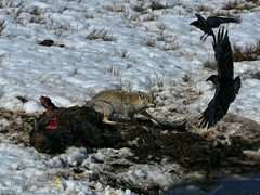 Raven Swoops In (jerefolgert) Tags: yellowstone yellowstonepark nationalpark bison death ice grizzlybear grizzly bear raven flight snow grass black flying teeth angry fight defend pond crack