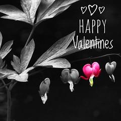 Happy Valentines (Nick Kenrick..) Tags: love romance selective valentines bleedingheart pink