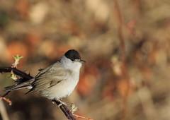 Fauvette à tête noire (m-idre31 - 5 millions de vues merci) Tags: oiseaux bird aves rouède hautegaronne fauvetteàtêtenoire