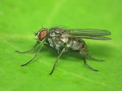 Coenosia humilis (ruiamandrade) Tags: coenosia humilis muscidae diptera fly mosca insectos insects nature natureza
