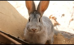 Tami (miss.abr) Tags: rabbit gray animal pet photography photo canon d550 natural تصويري ارنب كانون