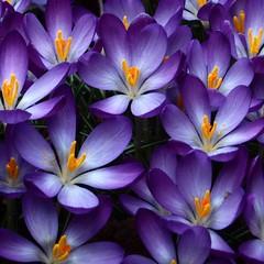 005 Crocus 2017 (saxonfenken) Tags: blue purple orange crocus flower spring tcf 9994crocus 9994 pregamewinner perpetual friendlychallengesweep gamewinner storybook