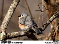 Tufted Titmouse (Bill.Thompson) Tags: tuftedtitmouse baeolophusbicolor ri birds