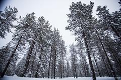 IMG_2396 (F@bione©) Tags: lapponia lapland marzo 2017 husky aurora boreale northenlight circolo polare artico rovagnemi finalndia finland