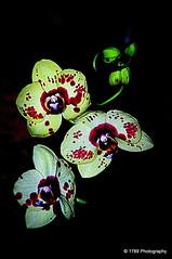 Dance of the Orchids (Rollingstone1) Tags: orchids flowers flora nature dance colour art vivid ngc