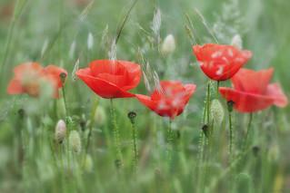 Klaprozen ~ Poppies