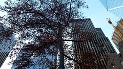 Seattle oak tree with the last seasons leaves (rve13) Tags: seattle oaktree tallbuildings towercrane galaxys6