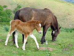 P1030683-c (OL!v!ER) Tags: refletdagences animal animaux cheval poney pottok poulain jument