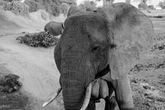 Samburu Kenya-129.jpg (MudflapDC) Tags: eastafrica kenya safari samburunationalreserve elephant bw tusks sarunisamburu kalamaconservancy vacation samburu dry red samburucounty ke
