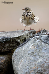 Meadow Pipit, Anthus pratensis perched on a drystone wall (Nigel Blake, 2 million views Thankyou!) Tags: bird history nature birds wall canon photography natural meadow aves perched blake nigel drystone songbird pipit pratensis passerine anthus motacillidae eos1dsmkiii titlark 600mmf4is nigelblakephotography