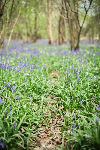 Lovely bluebell woods