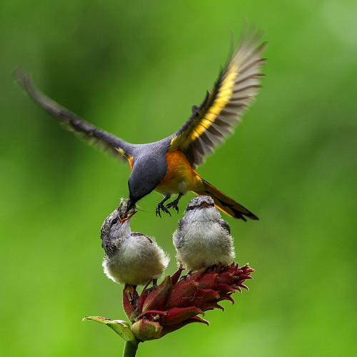 Burung Tledekan Gunung A Photo On Flickriver