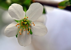 Cherry in blooming (Terje Hheim (thaheim)) Tags: flower horizontal cherry outdoors nikon petal growth pollen freshness blooming d90 fragility extremecloseup 85mmf35gmicrovr focusonforeground nopeople closeup singleflower