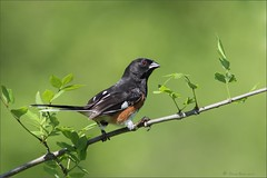Eastern Towhee (Daniel Behm Photography) Tags: bird nature bath wildlife sparrow eastern towhee behm bathnaturepreserve danielbehm essterntowhee